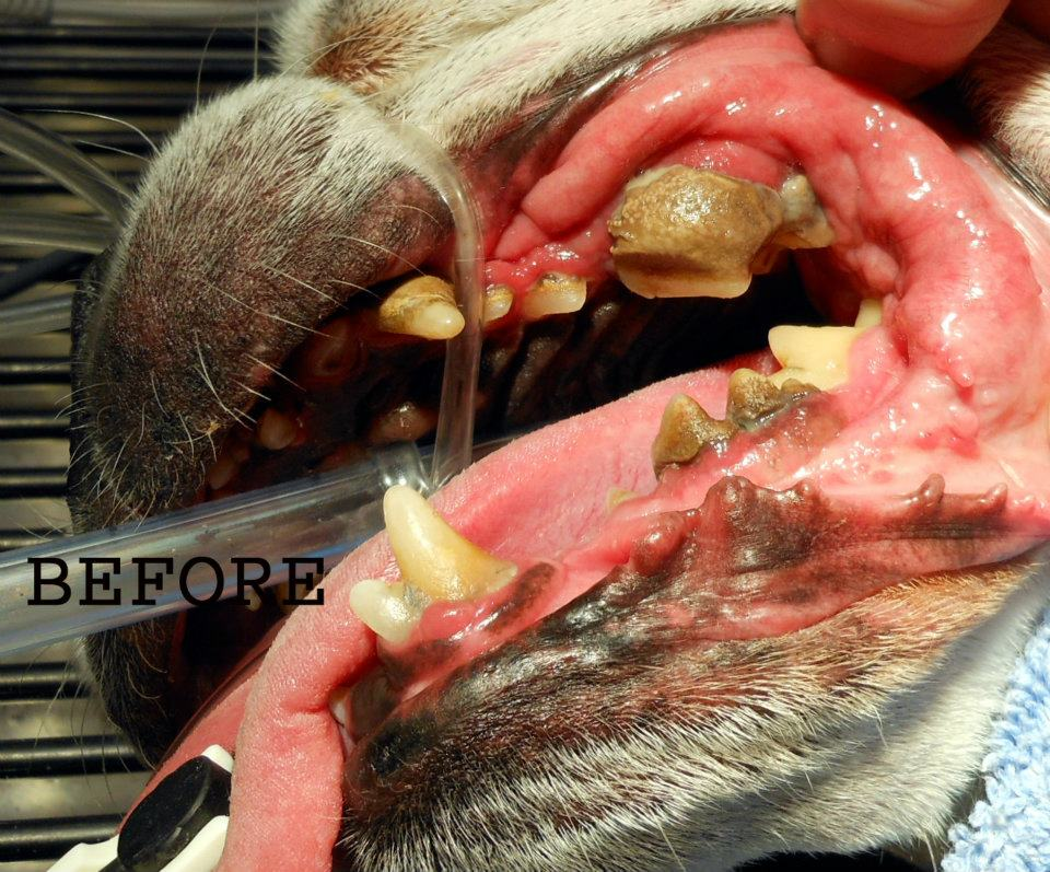Periodontal Disease Dogs Treatment Cost Uk