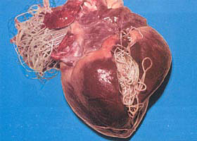 Reminders: HEARTWORM TREATMENT: A.S.A.P.! Heartworm Adult